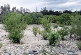 Preservationists hope that riparian plantings like these on Hammon Bar in the Yuba River will improve habitat for a host of wildlife in and near the river.