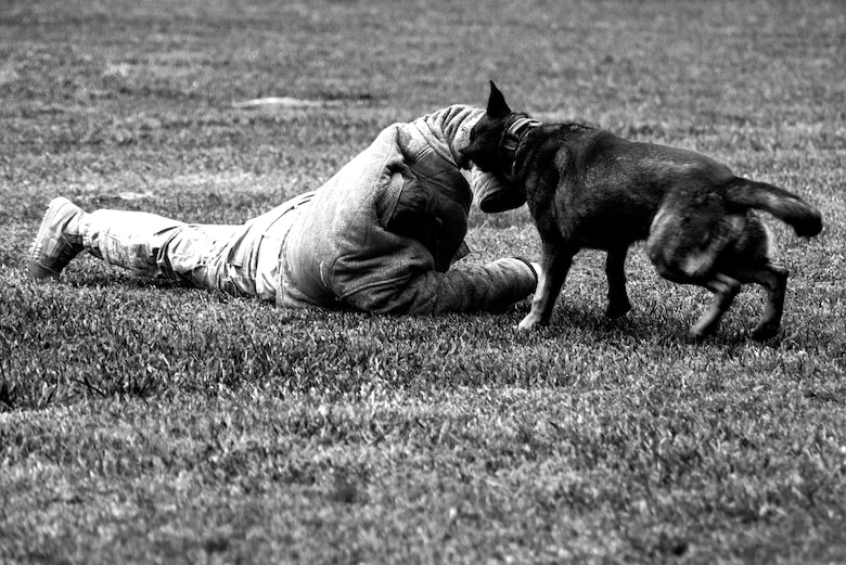Staff Sgt. Brandon Sheets, 4th Security Forces Squadron military working dog handler, is brought down by Kuli, an MWD, during a demonstration, May 18, 2016, at Seymour Johnson Air Force Base, North Carolina. Friends and family were able to witness the full capabilities of the 4th Fighter Wing's MWD division as part of Police Week. (U.S. Air Force photo by Airman Shawna L. Keyes/Released)