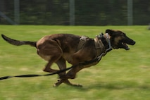 U.S. Air Force Military Working Dog (MWD) Oopal chases a suspect during a MWD competition at Eielson Air Force Base, Alaska, May 19, 2016, as part of National Police Week activities. Police Week is a time set aside to remember those who have fallen defending others and learn how law enforcement and security forces members contribute to public safety on a daily basis. (U.S. Air Force photo by Staff Sgt. Joshua Turner/Released)
