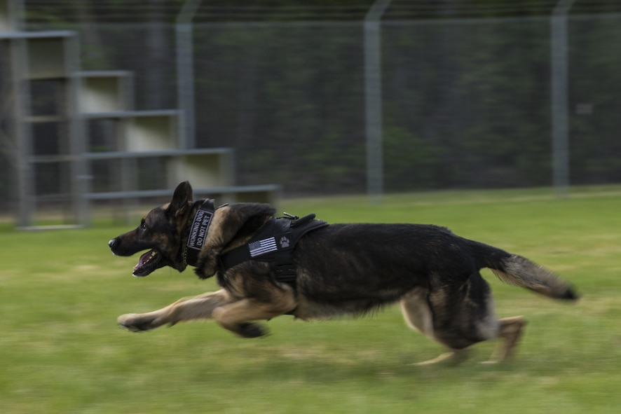 U.S. Air Force Military Working Dog (MWD) Tedy chases a suspect during a MWD competition at Eielson Air Force Base, Alaska, May 19, 2016, as part of National Police Week activities. Police Week is a time set aside to remember those who have fallen defending others and learn how law enforcement and security forces members contribute to public safety on a daily basis. (U.S. Air Force photo by Staff Sgt. Joshua Turner/Released)