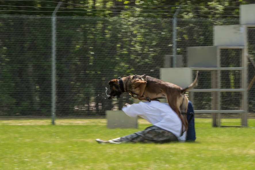 Military Working Dog (MWD) Oopal attacks U.S. Air Force Staff Sgt. Richard Hutson, a 354th Security Force Squadrons MWD handler role-playing as a suspect, during a competition at Eielson Air Force Base, Alaska, May 19, 2016, as part of National Police Week activities. Police Week is a time set aside to remember those who have fallen defending others and learn how law enforcement and security forces members contribute to public safety on a daily basis. (U.S. Air Force photo by Staff Sgt. Joshua Turner/Released)