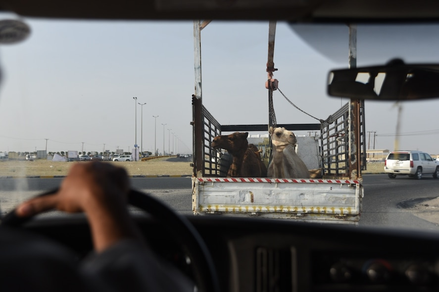 Two camels rest in the back of a truck on a highway in Kuwait, April 9, 2016. Camels are some of the many unique sights Airmen can witness while deployed. (U.S. Air Force photo by Airman 1st Class James L. Miller)
