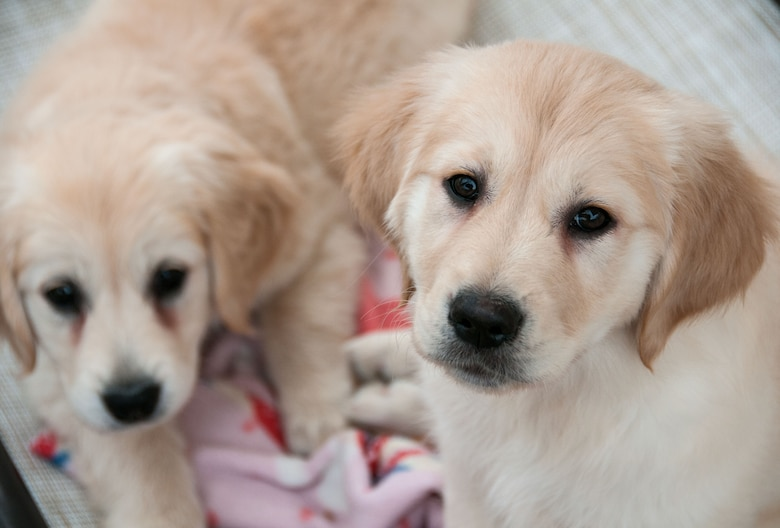 These two golden retriever puppies are some of the newest recruits for Warrior Canine Connection, a nonprofit that trains service dogs to help wounded warriors. Research has shown that dogs can help with the physical and emotional effects of traumatic injuries. (U.S. Air Force photo/Sean Kimmons)