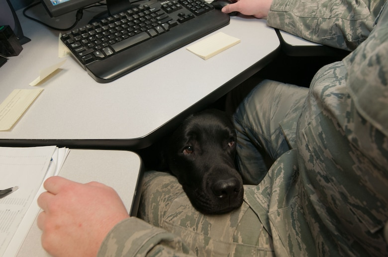 Luke, a service dog, rests his head on the lap of Staff Sgt. Ryan Garrison as he completes work at the Defense Courier Station-Baltimore on Fort Meade, Md., March 29, 2016. The Labrador goes everywhere with Garrison to assist in the Airman's recovery from a combat-related injury. (U.S. Air Force photo/Sean Kimmons)