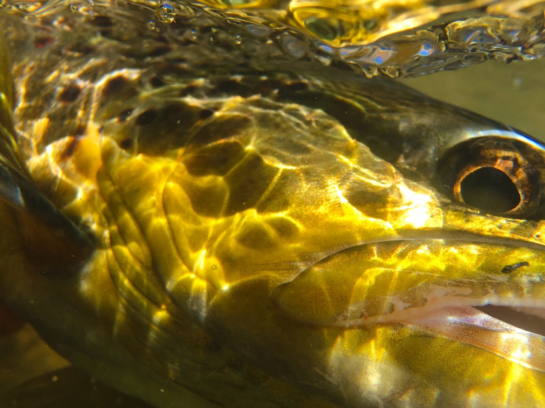 ABIQUIU DAM, N.M. – This underwater photo is a close-up of a brown trout. It was taken during a N.M. Game and Fish electro fishing survey of the Rio Chama below the dam, March 15, 2016. Photo by Austin Kuhlman. This 2016 Photo Drive entry tied for third place based on employee voting.