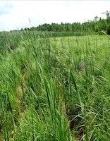 Cattails near one of biologist Kathleen Buckler's sampling sites.