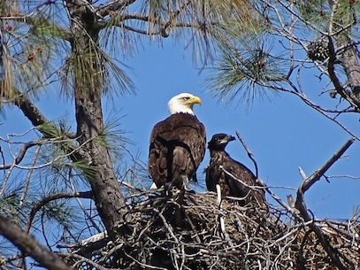 After four years of no offspring, Eastman Lake bald eagles finally had a successful breeding season. An 8 week old fledgling and its parent are seen here on May 10, 2016. Bald eagles have been known to nest at Eastman Lake since 1993. Counting this year's offspring, the grand total of bald eagles that have successfully fledged their nests at Eastman Lake is 39. Photo by Eric Schaal.