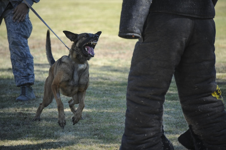 U.S. Air Force military working dog Ootter, assigned to the 355th Security Forces Squadron, barks at another 355th SFS member during a demonstration at Davis-Monthan Air Force Base, Ariz., Sept. 29, 2016. The 355th SFS mission is to protect, defend and fight to enable Air Force, joint and coalition mission success.  (U.S. Air Force photo by Airman 1st Class Mya M. Crosby)