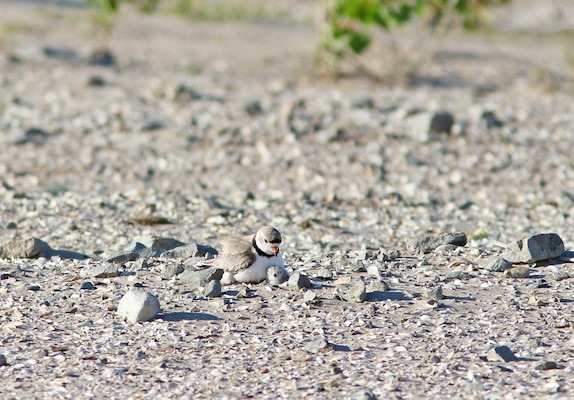 Male piping plover nesting with chick fledged this summer at Cat Island. Photo courtesy of Tom Prestby.