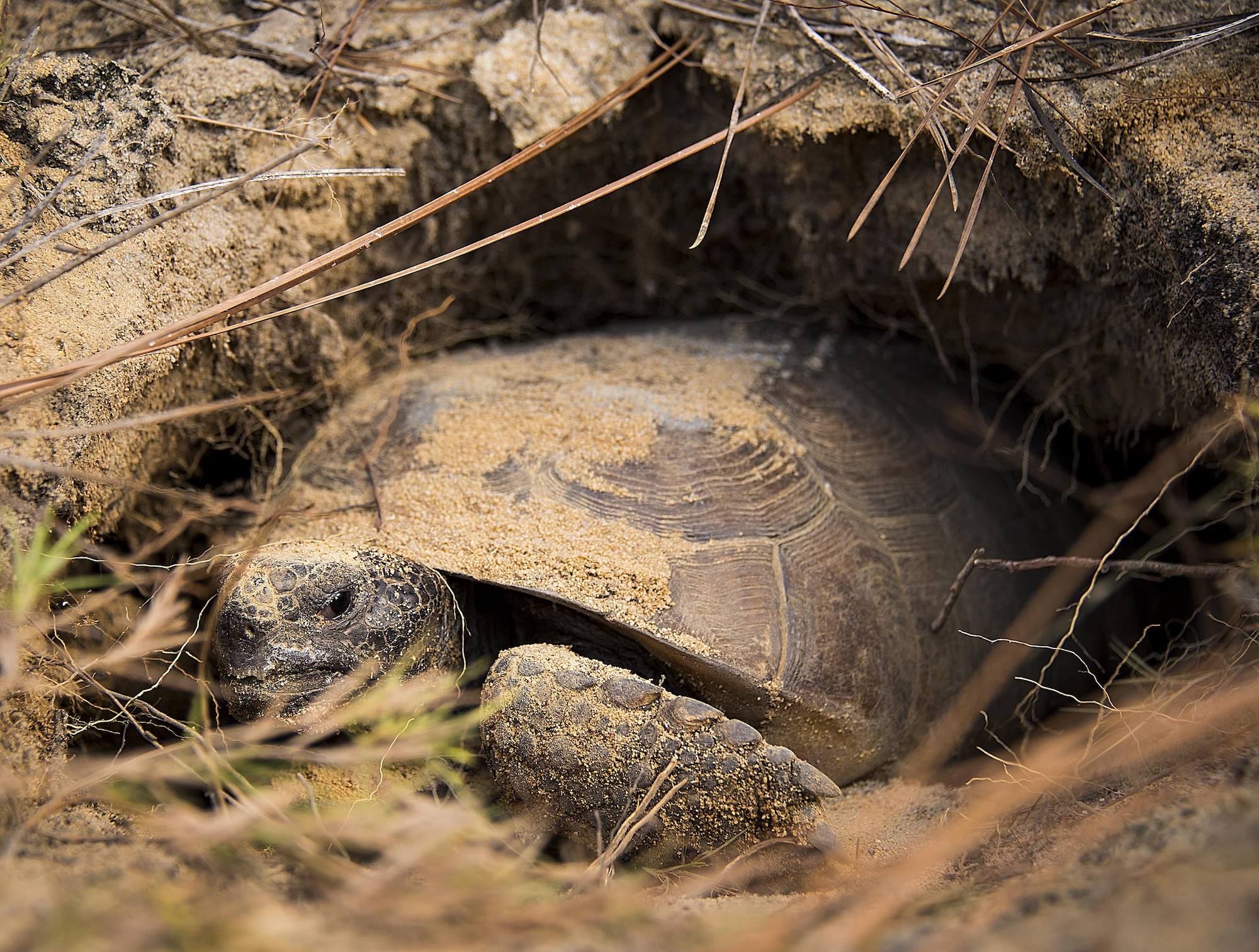 A gopher tortoise settles into its new burrow deep within the Eglin Air Force Base range Oct. 26.  The first of approximately 250 tortoises were released into their 100-acre habitat after being rescued from urban development at their previous home in South Florida.  Increasing the gopher tortoise population here could prevent the U.S. Fish and Wildlife Service from listing the animal on the Threatened and Endangered Species list, allowing more flexibility for the military missions on Eglin. (U.S. Air Force photo/Samuel King Jr.)