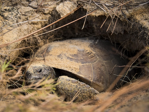 A gopher tortoise settles into its new burrow deep within the Eglin Air Force Base range in Florida Oct. 26, 2016. The first of about 250 tortoises were released into their 100-acre habitat after being rescued from urban development at their previous home in South Florida. Increasing the gopher tortoise population here could prevent the U.S. Fish and Wildlife Service from listing the animal on the Threatened and Endangered Species list, allowing more flexibility for the military missions on Eglin AFB. (U.S. Air Force photo/Samuel King Jr.)