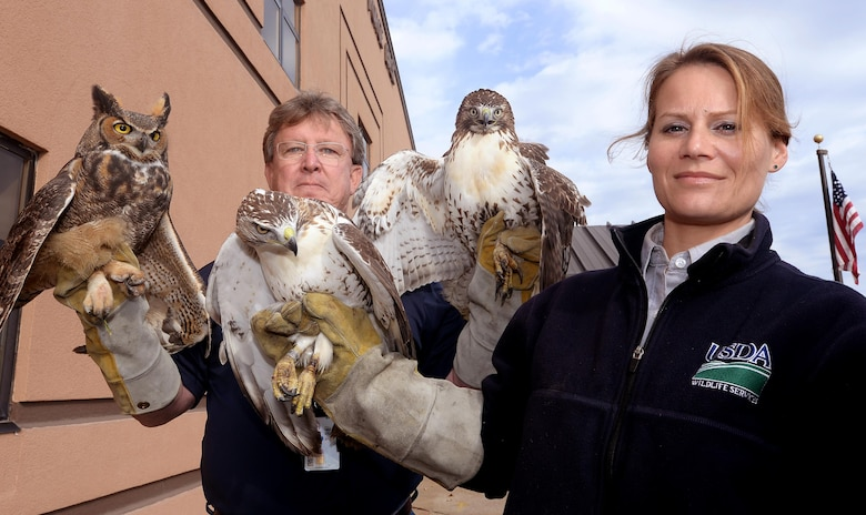 Steve Baumann and Marie Griffin, U.S. Department of Agriculture wildlife biologists, pose for a photo with two red-tailed hawks and a great horned owl Oct. 19, 2016 at Offutt Air Force Base, Neb. The raptors were captured on Offutt's airfield as part of the Bird/Wildlife Aircraft Strike Hazard program that helps mitigate bird strikes. (U.S. Air Force photo by Delanie Stafford/Released)