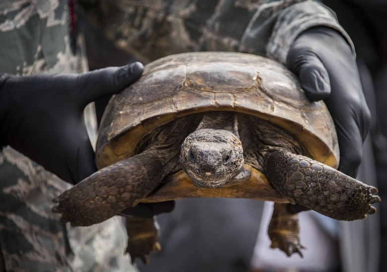 A gopher tortoise waits to begin exploring its new home deep within the Eglin Air Force Base range, Fla., Oct. 26, 2016.  The first of more than 250 tortoises were released into their 100-acre habitat after being moved from their previous home in south Florida.  Increasing the gopher tortoise population could prevent the U.S. Fish and Wildlife Service from listing the animal on the threatened and endangered species list. (U.S. Air Force photo/Samuel King Jr.)
