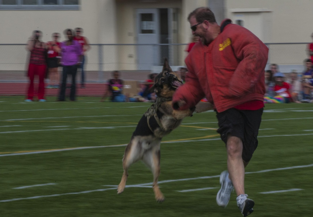 Department of Defense school teacher Scott Roberts is chased down by military working dog Doni from the 18th Security Forces Squadron in conjunction with Red Ribbon Week at Ryukyu Middle School on Kadena Air Base, Japan. Ryukyu Middle School and Kadena Middle School kicked off their Red Ribbon Week Oct. 21, with a pep rally with military working dogs in attendance. (U.S. Air Force photo by Airman 1st Class Nick Emerick/Released)