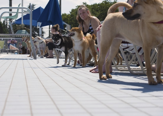 A dog waits to jump in the Sakana Pool during the Dog Days of Summer event at Yokota Air Base, Japan, Sept. 10, 2016. More than 30 dogs and their owners attended the event for an afternoon of swimming, playing fetch and meeting new friends. (U.S. Air Force photo by Airman 1st Class Donald Hudson/Released)
