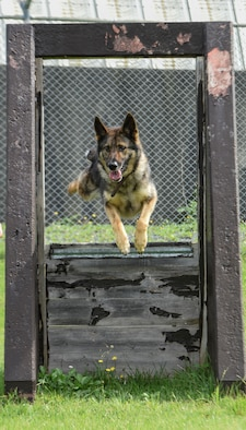 Karo, a military working dog with the 35th Security Forces Squadron, leaps through an agility obstacle at Misawa Air Base, Japan, Sept. 7, 2016. Handlers are assigned with their K-9 partners as a team to either detect narcotics or search for explosives while patrolling the base to deter foes with force and tact. (U.S. Air Force photo by Airman 1st Class Sadie Colbert)