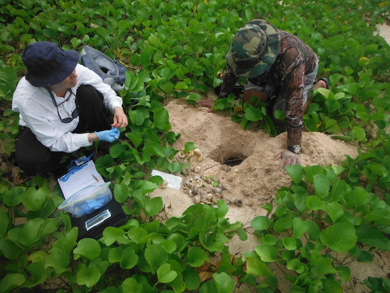 Marine biologists examine a hatched Green Turtle nest at Chulu Beach on the Island of Tinian, Sept. 18, 2016. The endangered Green Turtle egg nest was expected to hatch around the time the 31st Marine Expeditionary Unit was scheduled to conduct a boat raid to Chulu beach as part of Exercise Valiant Shield. Valiant Shield is a biennial U.S. Air Force, Navy and Marine Corps exercise held in Guam, focusing on real-world proficiency in sustaining joint forces at sea, in the air, on land and in cyberspace. (U.S. Marine Corps photo by Lance Cpl. Kelsey Dornfeld)