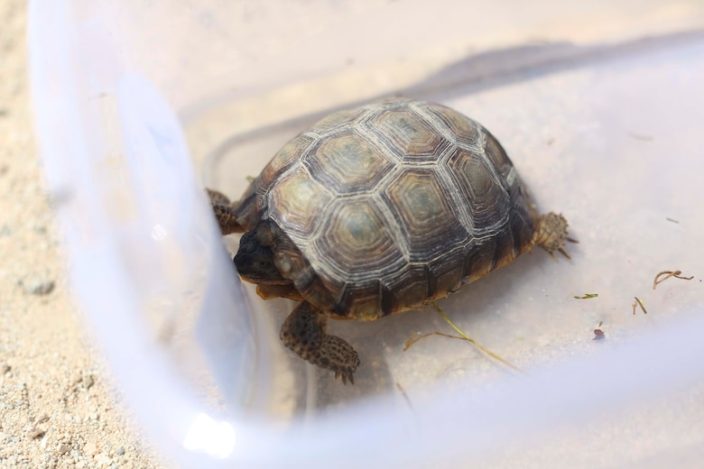 A desert tortoise is rehydrated as part of a health assessment during the Desert Tortoise translocation, April 10, 2017, which was facilitated by the Marine Corps Air Ground Combat Center, Twentynine Palms, Calif. The translocation, in accordance with the U.S. Fish and Wildlife Service-signed Biological Opinion, serves as a negotiated mitigation to support the mandated land expansion which will afford the Combat Center the ability to conduct Large Scale Exercise training featuring up to a Marine Expeditionary Brigade-level force. (U.S. Marine Corps photo by Cpl. Medina Ayala-Lo)