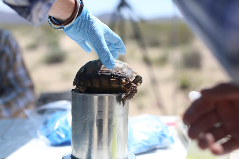 Biologists with Natural Resources and Environmental Affairs, weigh a desert tortoise as part of a health assessment during the Desert Tortoise translocation, April 10, 2017, which was facilitated by the Marine Corps Air Ground Combat Center, Twentynine Palms, Calif. The translocation, in accordance with the U.S. Fish and Wildlife Service-signed Biological Opinion, serves as a negotiated mitigation to support a congressionally mandated land expansion which, will afford the Combat Center the ability to conduct Large Scale Exercise training of a Marine Expeditionary Brigade-level force. (U.S. Marine Corps photo by Cpl. Medina Ayala-Lo)