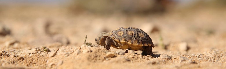 A 6-month old desert tortoise found during the Desert Tortoise translocation eats aboard Marine Corps Air Ground Combat Center, Twentynine Palms, Calif., April 12, 2017. Because the animal is too small to be translocated, it will be sent to the Tortoise Research and Captive Rearing Site, a long-term assessment of how to protect nests, hatchlings and juveniles until they grow resilient enough to endure the harsh physical environment, resist most predation and mature to fully-functional adults that produce offspring and support the population.  (U.S. Marine Corps photo by Cpl. Julio McGraw)