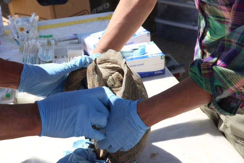 Biologists with Natural Resources and Environmental Affairs examine a desert tortoise as part of a health assessment during the Desert Tortoise translocation, April 12, 2017, which was facilitated by the Marine Corps Air Ground Combat Center, Twentynine Palms, Calif. The translocation, in accordance with the U.S. Fish and Wildlife Service-signed Biological Opinion, serves as a negotiated mitigation to support a congressionally mandated land expansion which, will afford the Combat Center the ability to conduct Large Scale Exercise training of a Marine Expeditionary Brigade-level force. (U.S. Marine Corps photo by Cpl. Medina Ayala-Lo) (U.S. Marine Corps photo by Cpl. Medina Ayala-Lo)