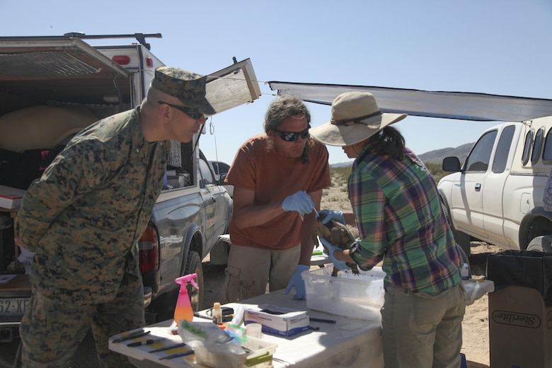 Commanding General, Brig. Gen. William F. Mullen III, observes as Peter Praschag, a biologist assisting with the translocation, swabs inside the mouth of a desert tortoise as part of a health assessment, April 12, 2017, during the desert tortoise translocation aboard the Marine Corps Air Ground Combat Center, Twentynine Palms, Calif. The translocation, in accordance with the U.S. Fish and Wildlife Service-signed Biological Opinion, serves as a negotiated mitigation to support the mandated land expansion which will afford the Combat Center the ability to conduct Large Scale Exercise training featuring up to a Marine Expeditionary Brigade-level force. (U.S. Marine Corps photo by Lance Cpl. Natalia Cuevas)