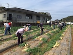 Employees from DLA Distribution Yokosuka, Japan's Sasebo detachment work with volunteers from Commander Fleet Activities, Sasebo to pick onions in the local community.