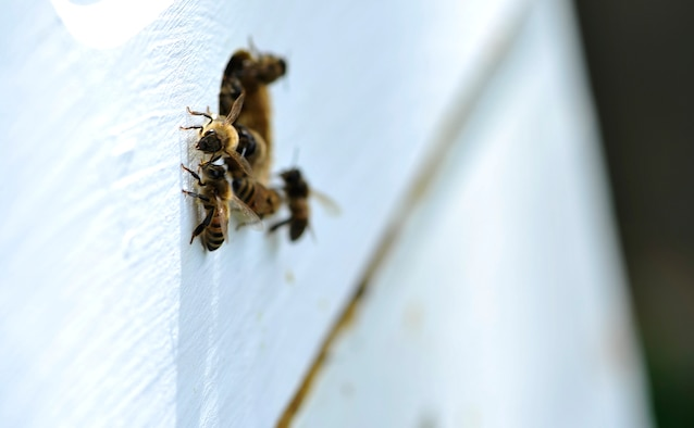 Several honeybees guard the opening to their hive, April 24, 2017, in Derby, Kan. In the hierarchy of a bee colony, worker bees make up the majority of the bees and are responsible for most of the work to maintain and care for the hive. (U.S. Air Force photo/Airman 1st Class Erin McClellan)