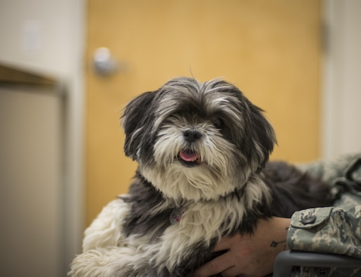 Maggie, a 9-year-old Lhasa Apso, poses for the camera during a checkup at the 49th Medical Group veterinary clinic at Holloman Air Force Base, N.M. on April 27, 2017. To better prepare dog owners for the upcoming summer season, Dr. Carolyn Fletcher, a veterinarian with the 49th MDG veterinary clinic, provided some tips on summer pet safety, with topics ranging from heat exhaustion to traveling. (U.S. Air Force photo by Airman 1st Class Alexis P. Docherty)