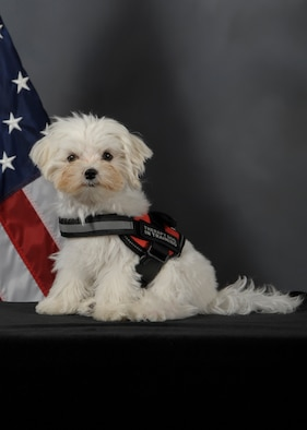 Khaos, the first Sexual Assault Prevention Response therapy dog in training assigned to the 6th Air Mobility Wing, pauses for an official photo on MacDill Air Force Base, Fla., March 29, 2017. Khaos is part of the Paw Support Program in which he will provide therapeutic support for sexual assault victims and MacDill personnel. (U.S. Air Force photo by Senior Airman Mariette Adams)