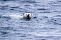 A friendly polar bear swims closer to inspect CGC HEALY.