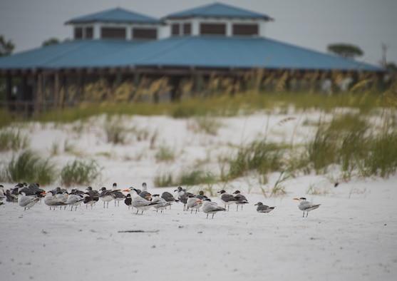 A flock of shorebirds rest near the beach park on the Santa Rosa Island Range July 29 at Eglin Air Force Base, Fla. (U.S. Air Force photo/Ilka Cole)