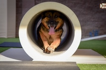 Habo, 99th Security Forces Squadron military working dog, crawls through a tube at Nellis Air Force Base, Nevada, August 7, 2017. Habo is primarily trained to detect narcotics. (U.S. Air Force photo by Airman 1st Class Andrew D. Sarver/Released)