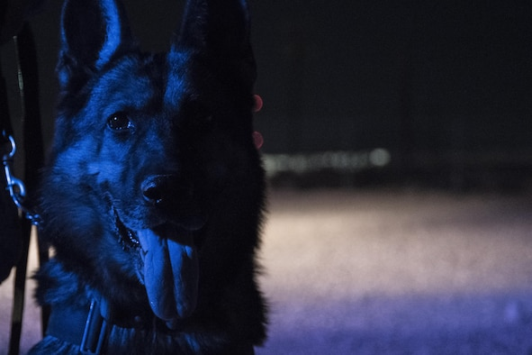 Habo, 99th Security Forces Squadron military working dog, pauses during a patrol around Nellis Air Force Base, Nevada, August 7, 2017. MWDs and their handlers patrol the outskirts of a base to ensure its safety and security. (U.S. Air Force photo by Airman 1st Class Andrew D. Sarver/Released)
