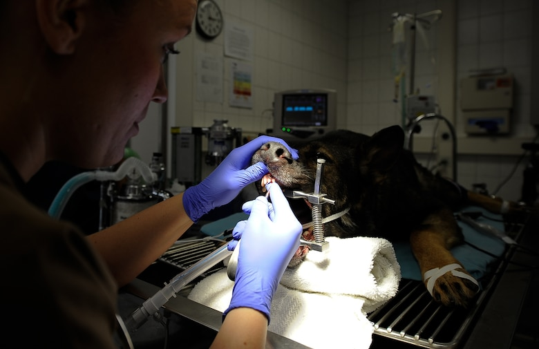 After biting down onto a steel pipe during training, Kobo, 86th Security Forces Squadron military working dog, underwent two non-surgical procedures for the extraction of his upper incisors and a surgical extraction of his upper fourth premolar at Pulaski Veterinary Clinic, Pulaski Barracks, Germany, Aug. 25, 2017. Due to the nature of their work, these K-9s are prone to dental injuries and depend on local dental clinics to help keep them in good working condition. (U.S. Air Force Airman 1st Class Savannah L. Waters)
