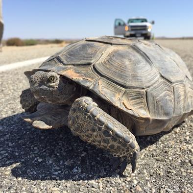 Desert tortoises: One of Edwards AFB's natural residents