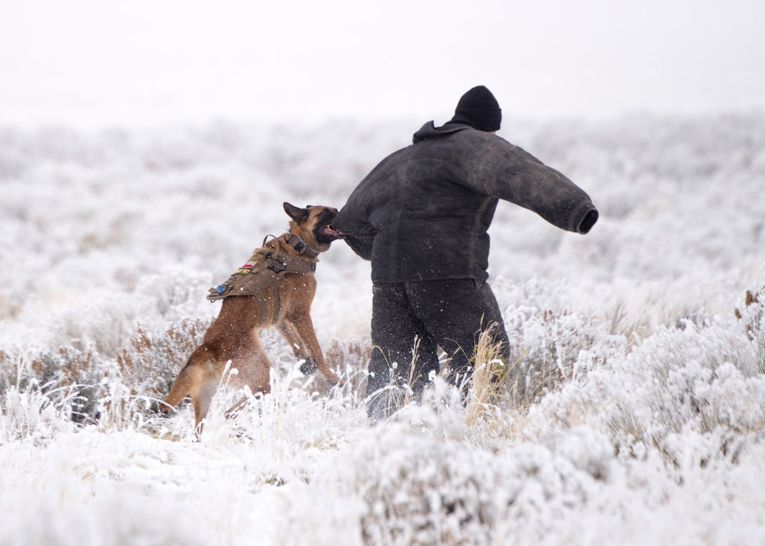 Military Working Dog Ingo takes down an enemy threat during Gunfighter Flag 18-1 Dec. 14, 2017, at Mountain Home Air Force Base, Idaho. Gunfighter Flag 18-1 took place Dec. 11-15, simulating joint service operations that might be encountered in a deployed environment. (U.S. Air Force photo by Airman 1st Class Jeremy D. Wolff)