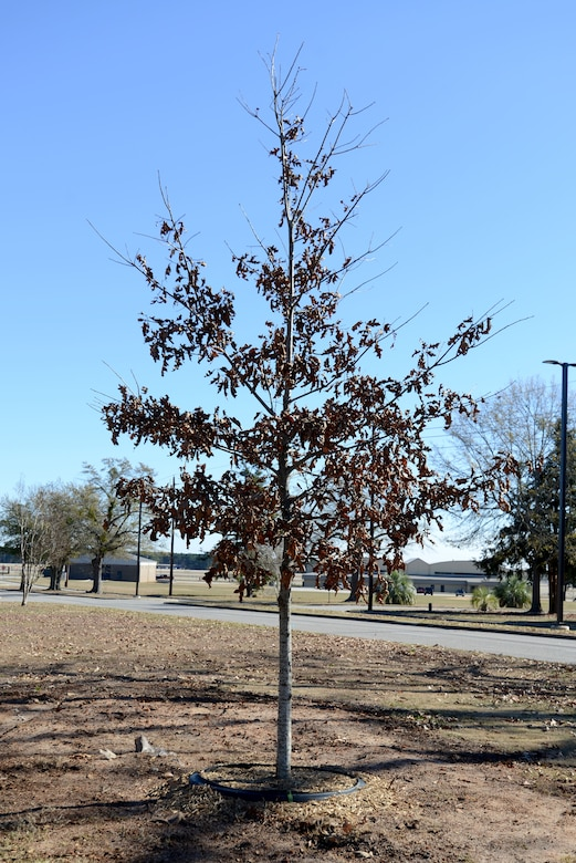 The 20th Civil Engineer Squadron planted the first Cherrybark Oak tree at Shaw Air Force Base, S.C., in honor of Arbor Day, Dec. 13, 2017.
