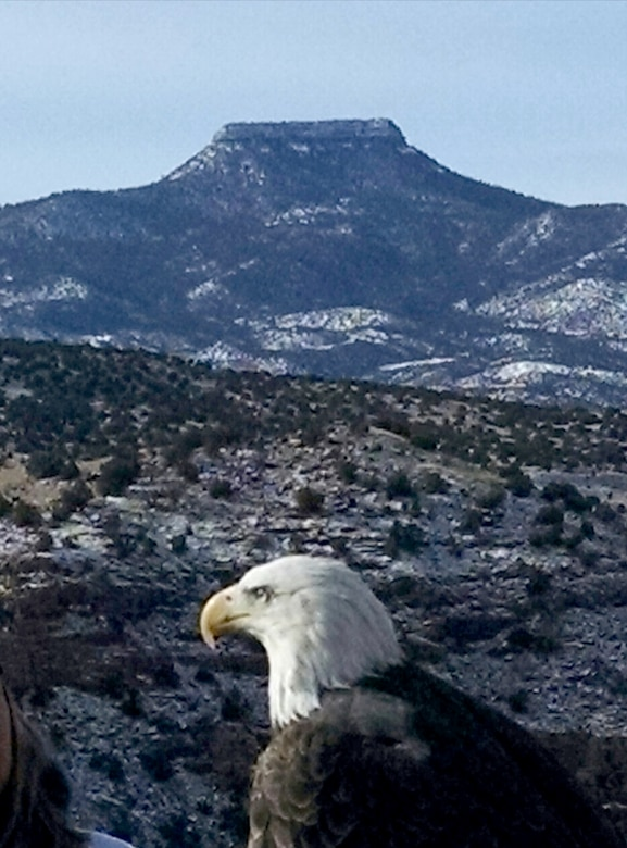 ABIQUIU LAKE, N.M. – One of the bald eagles spotted during the annual Midwinter Eagle Watch, Jan. 7, 2017. Cerro Pedernal is seen in the background.