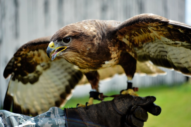 C130, a common buzzard, spreads his wings during a Loomacres Wildlife demonstration at Royal Air Force Lakenheath, England, July 7. Loomacres uses predatory birds, including Harris hawks, red-tailed hawks, peregrine falcons and goshawks as part of their bird-deterrence program on RAF Lakenheath and RAF Mildenhall. (U.S. Air Force photo/Master Sgt. Eric Burks)