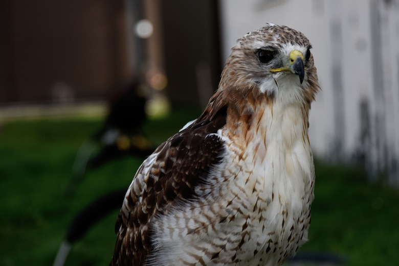 Roose, a red-tailed hawk, sits on a perch at Royal Air Force Lakenheath, England, Oct. 12. Loomacres Wildlife uses birds of prey and other audial and visual deterrents to protect aircraft from bird strikes. (U.S. Air Force photo/Senior Airman Abby L. Finkel)
