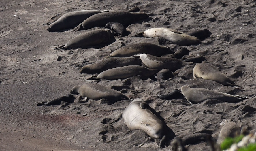 Baby elephant seals lay next to their mothers on a south base beach, Jan. 26, 2017, Vandenberg Air Force Base, Calif. Vandenberg has recently become the host to an elephant seal rookery for the first time in several decades. (U.S. Air Force photo by Senior Airman Ian Dudley/Released)