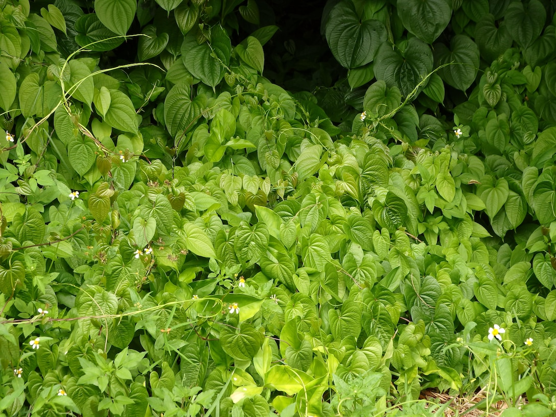 Each potato sprouts a new vine that can grow extremely quickly – about eight inches per day. These new air potato vines seek a way into the canopy -- the invasive vine grows to the tops of trees and smothers native plants.