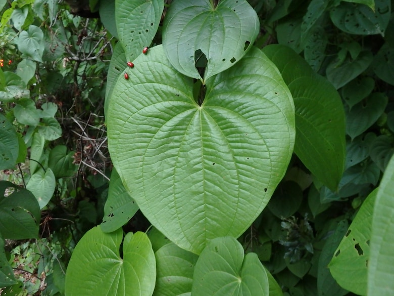 Biocontrols at work: tiny red air potato beetles feed on the heart shaped leaves of the invasive air potato vine.