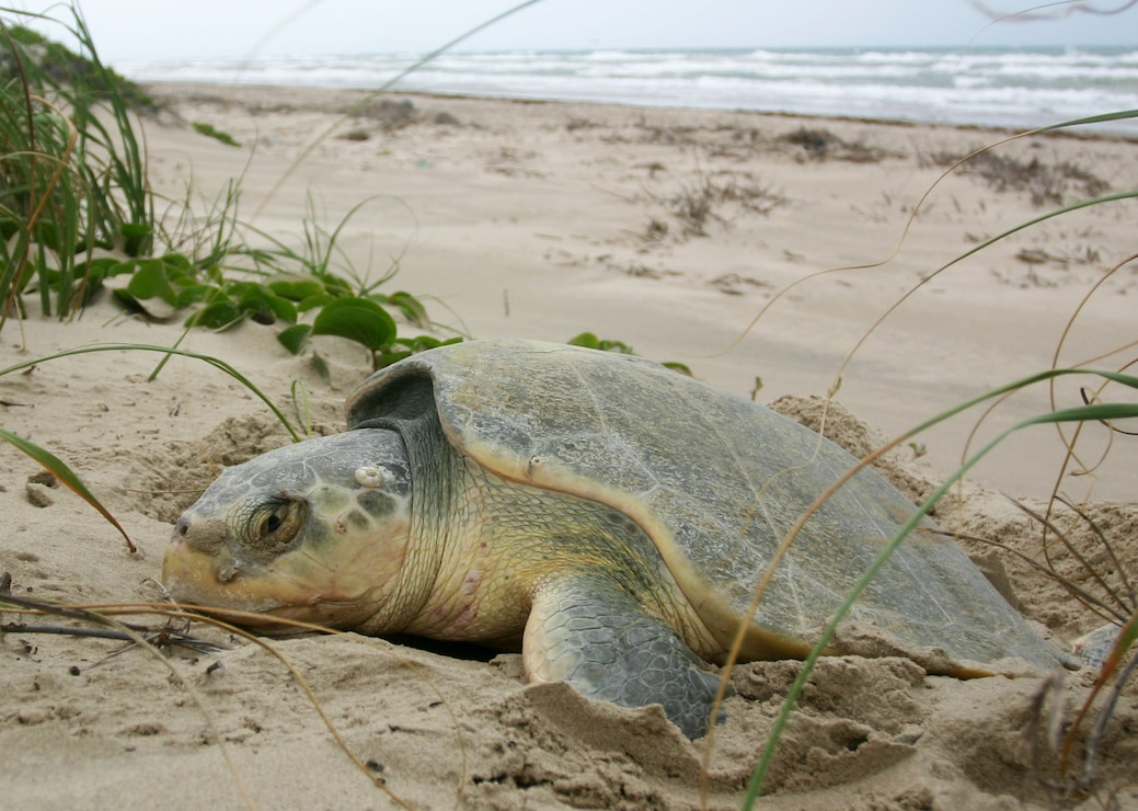 A sea turtle digs a nest on a beach in Brunswick County, North Carolina.
