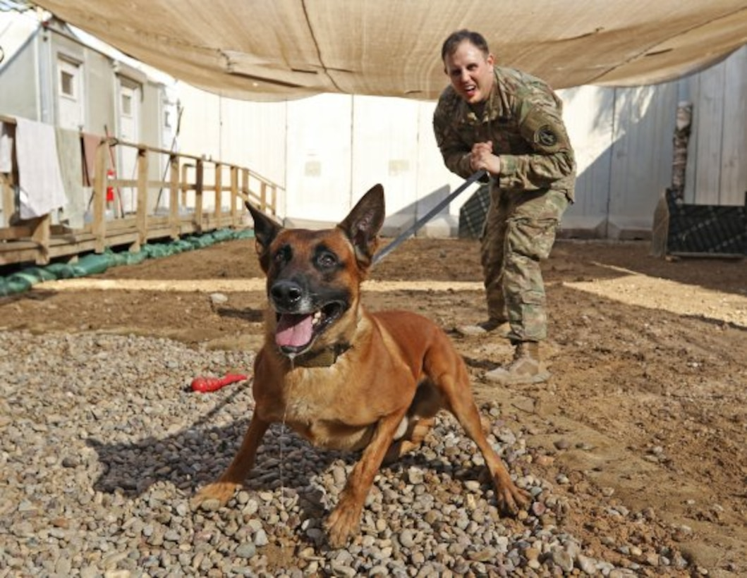 Rrobiek, a Belgian Malinois military working dog, and his handler, U.S. Army Staff Sgt. Charles Ogin, 3rd Infantry Regiment, practice bite training after work Feb. 14 in Baghdad, Iraq. Rrobiek is a patrol and explosive detector dog who works hard with Ogin to ensure the safety of everyone inside the entry point gate at Union III in Baghdad. (Photo Credit: U.S. Army photo by Sgt. Anna Pongo)