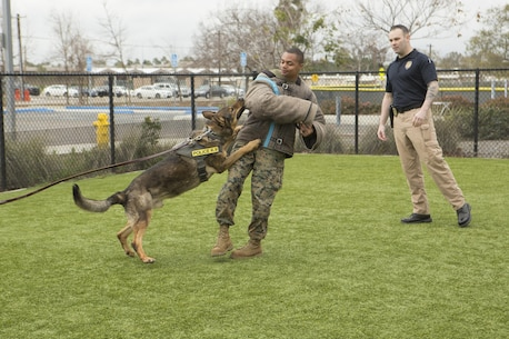 Officers with the Provost Marshal's Office at Marine Corps Air Station Miramar, Calif., demonstrates how a military working dog is trained to attack a suspect during a K-9 showcase at the Miramar Youth and Teen Center on MCAS Miramar, Feb. 17. Military working dog handlers train their dogs to assist in neutralizing a threat to aid in base security. (U. S. Marine Corps photo by Lance Cpl. Liah Kitchen/Released)