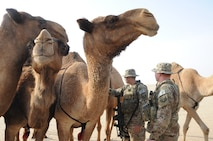 Senior Airmen Grayson Bryant, left, and Senior Airman Rhea Flambeau, right, 386th Expeditionary Security Forces Squadron patrolmen, encounter a heard of camels during a patrol of the base security zone at an undisclosed location in Southwest Asia Jan. 1, 2017. Both of these Airmen are part of the base security zone patrol team. (U.S. Air Force photo/Tech. Sgt. Kenneth McCann)