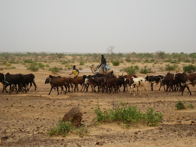 Herders on camelback moving cattle in Niger. Livestock is an important economic resource in much of the Sahel, but limitations on water and pasturage provide constant challenges to herders.