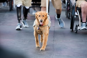 A service dog named Moxie leads the parade for athletes into Soldier Field for the opening ceremonies of the 2017 Department of Defense Warrior Games at the United Center in Chicago, July 1, 2017. Moxie has been with retired Army Sgt. Christina Gardner for seven years. DoD photo by EJ Hersom